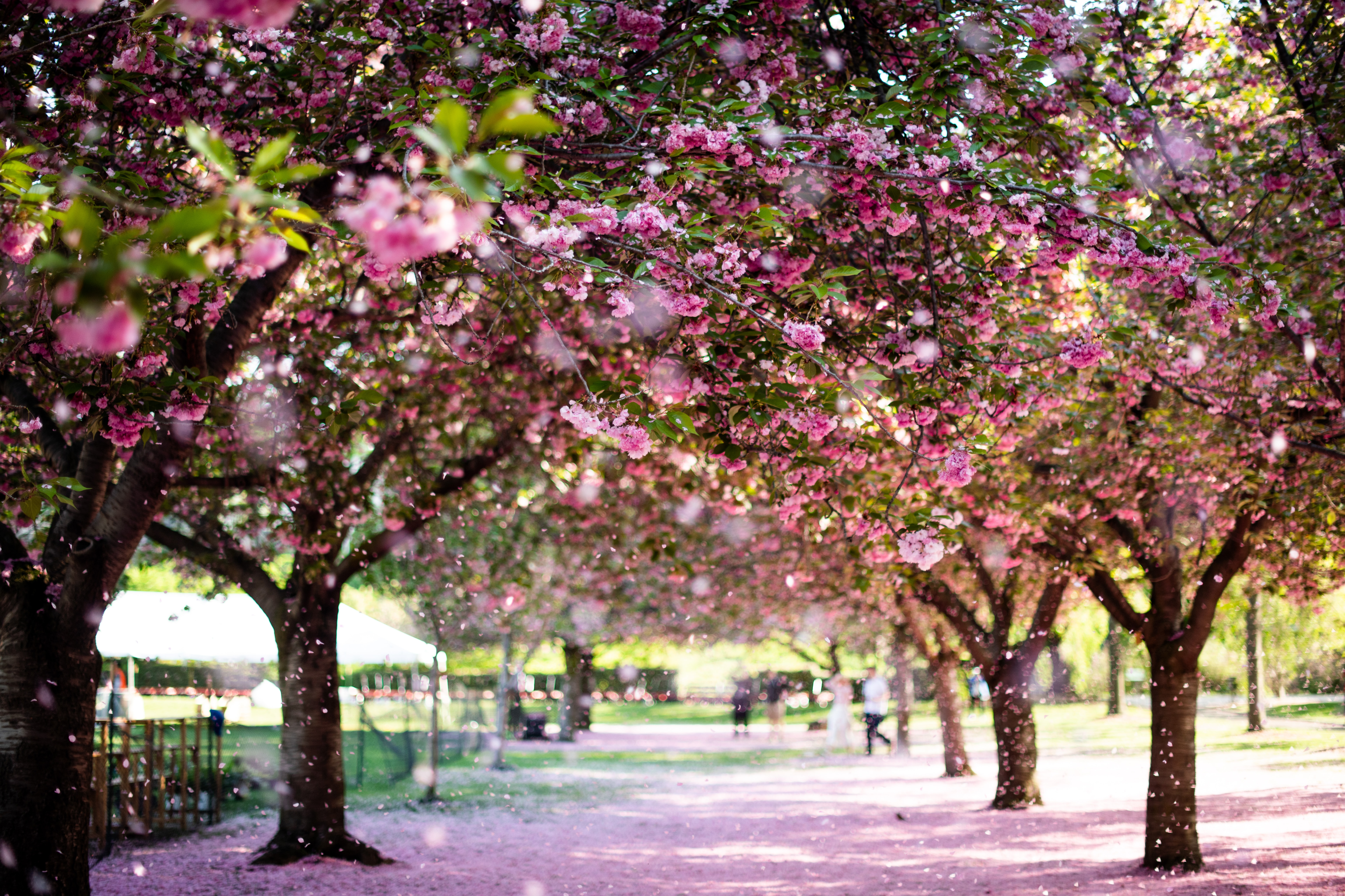 Cherry blossoms nyc